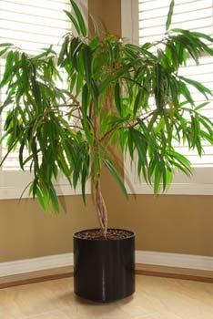 Regar las plantas de interior o en maceta - Plantas de interior altas ...