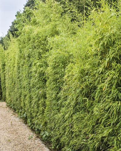 Plantaci n de un seto de bamb - Seto de bambu ...