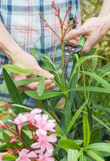 Quand Tailler Le Laurier Rose : la adelfa nerium oleander ~ Dailycaller-alerts.com Idées de Décoration