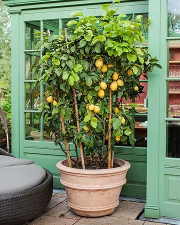 citricos en maceta