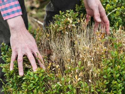 Qu hacer contra las enfermedades del boj - Recuperar jardin seco ...