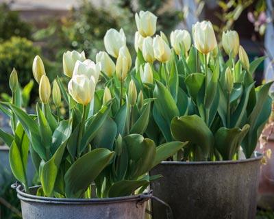 de bulbos de primavera en maceta