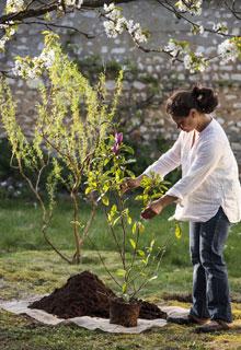 Instalar una magnolia - Abono para magnolios ...