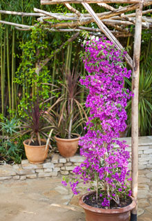 Las plantas verticales en maceta - Madreselva en maceta ...