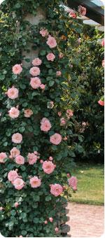 Comprar rosales online - Rosales trepadores perfumados ...