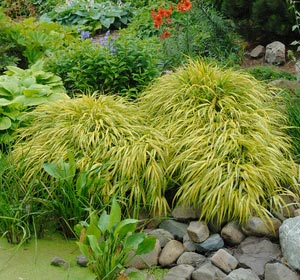 Hierba de Jap�n 'All gold' - Hakonechloa macra 'All gold'