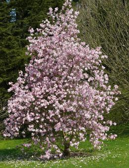 magnolio caduco 39 alexandrina 39 venta magnolio caduco 39 alexandrina 39 magnolia x soulangeana. Black Bedroom Furniture Sets. Home Design Ideas