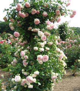 Rosal 39 pierre de ronsard 39 venta rosal 39 pierre de ronsard 39 rosa pierre de ronsard - Rosales trepadores perfumados ...