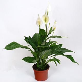 Spathiphyllum espatifilo cuna de mois s c17 venta spathiphyllum espatifilo cuna de mois s - Planta cuna de moises ...