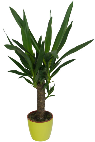 Yuca 1 tronco cubremaceta verde lim n venta yuca 1 - Yucca elephantipes cuidados ...