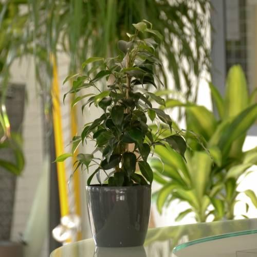 Ficus benjamina 39 danielle 39 c12 venta ficus benjamina - Ficus benjamina precio ...