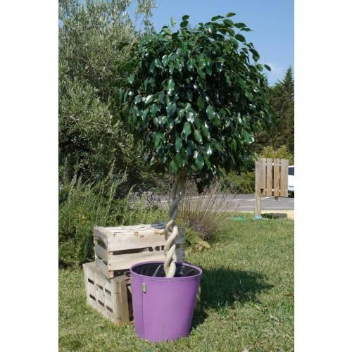 Ficus benjamina 39 danielle 39 c25 venta ficus benjamina - Ficus benjamina precio ...