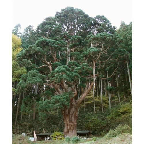 Resultado de imagen para cedro rojo amazonas