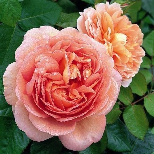 Rosales de flor grande: Como elegir sus rosales de flor grande?