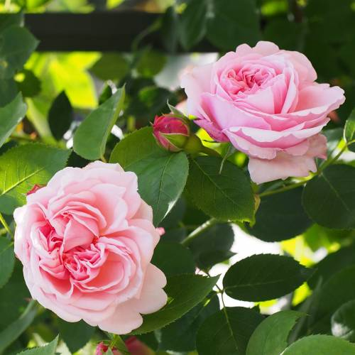 Rosal 39 st swithun 39 venta rosal 39 st swithun 39 rosa st swithun - Rosales trepadores perfumados ...