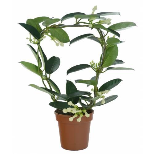 Jazm n de madagascar c12 venta jazm n de madagascar for Jazmin planta precio