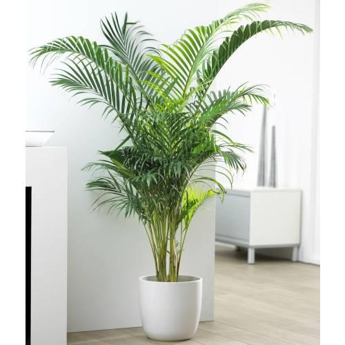 Areca c22 venta areca c22 chrysalidocarpus for Plantas de interior precios