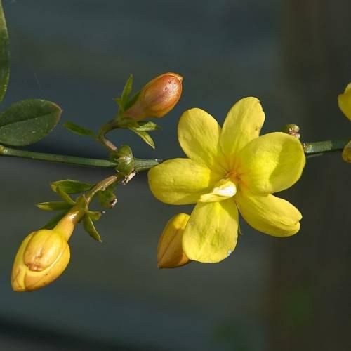 Jazm n primavera venta jazm n primavera jasminum mesnyi for Jazmin planta precio