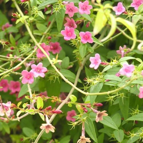 Jazm n nido de abeja venta jazm n nido de abeja for Jazmin planta precio