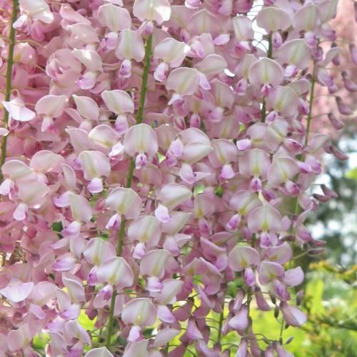 Glicinia rosa 39 pink ice 39 venta glicinia rosa 39 pink ice for Glicina planta