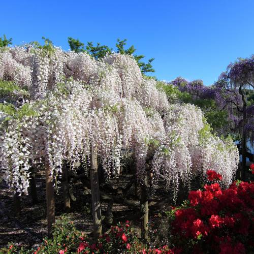 Glicinia blanca venta glicinia blanca wisteria floribunda alba - Glicinia en maceta ...
