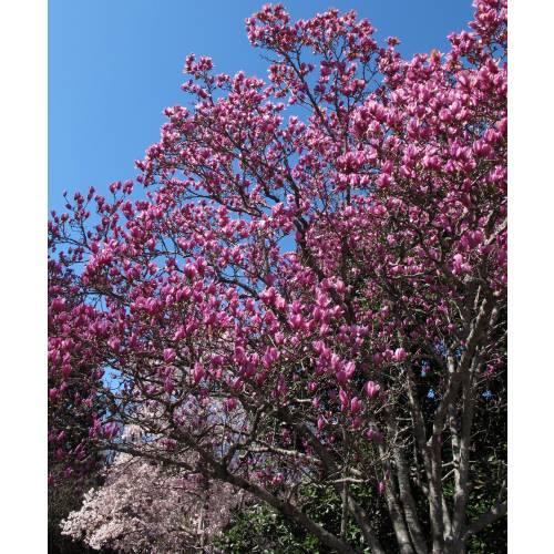Magnolio caduco 39 alexandrina 39 venta magnolio caduco - Abono para magnolios ...