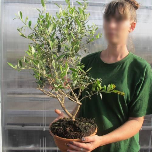 olivo bonsa venta olivo bonsa olea europea bonsa. Black Bedroom Furniture Sets. Home Design Ideas