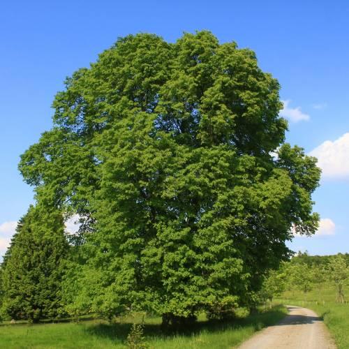 Tilo de hojas grandes venta tilo de hojas grandes tilia platyphyllos - Tilleul a grandes feuilles ...