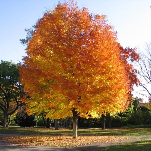 Arce Acer árbol Venta Online De Plantones De Arce