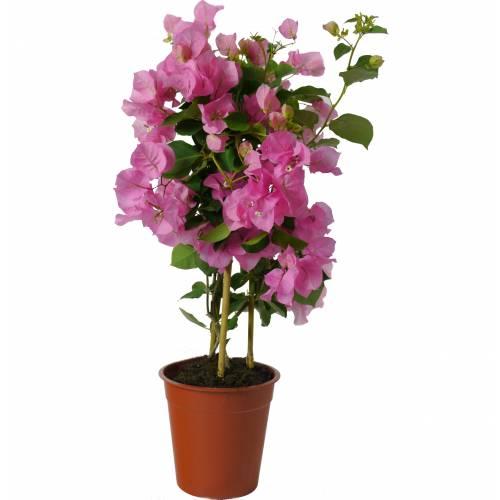 Buganvilla rosa venta buganvilla rosa bougainvillea glabra rosea - Tailler un bougainvillier ...