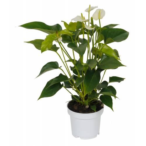 Anturio de flores blancas c12 venta anturio de flores - Imagenes plantas de interior ...