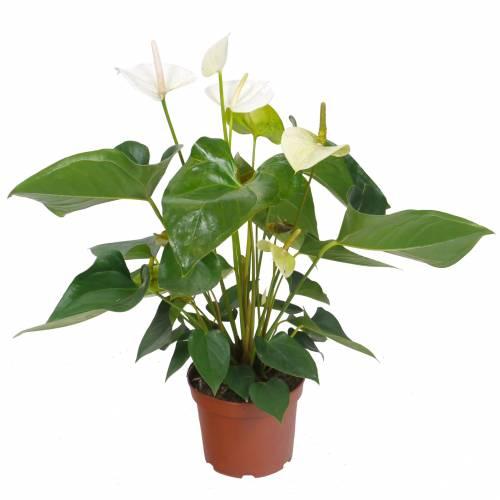 Anturio de flores blancas c17 venta anturio de flores for Plantas de interior precios