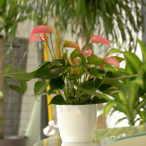 Anturio de flores rosas - C12 : venta Anturio de flores rosas - C12 ...