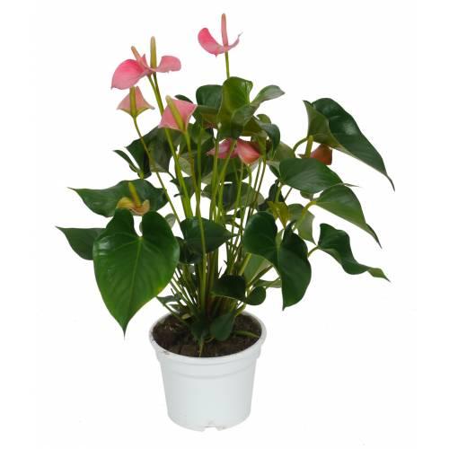 Anturio de flores rosas c17 venta anturio de flores for Plantas de interior anturio