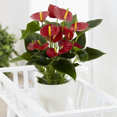 Anturio de flores rojas - C17 : venta Anturio de flores rojas - C17 ...
