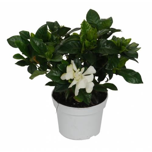 Gardenia jasminoides jazm n del cabo c12 venta for Jazmin planta precio