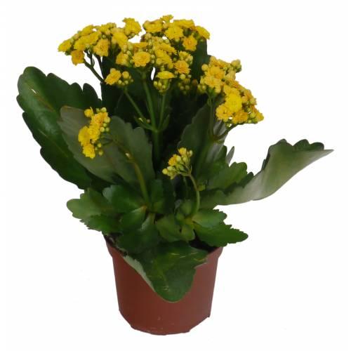kalanchoe con flores amarillas c12 venta kalanchoe con