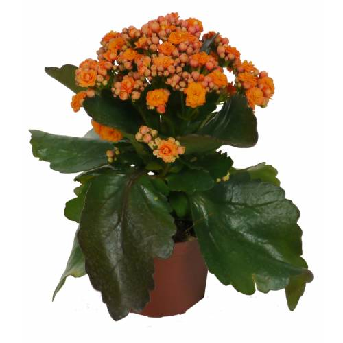 Kalanchoe con flores naranjas - C12 : venta Kalanchoe con flores ...