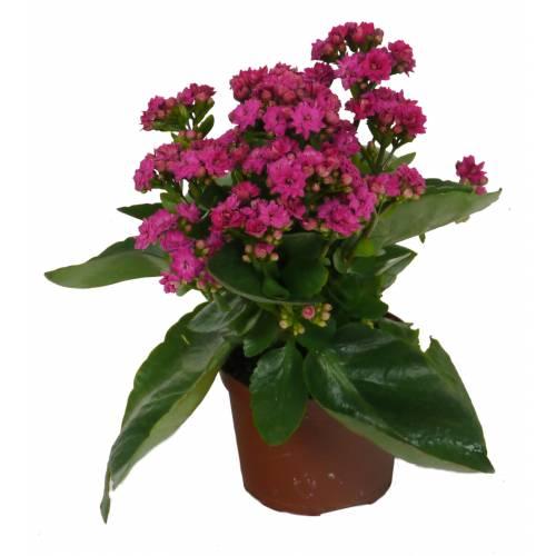 Kalanchoe con flores rosas - C12 : venta Kalanchoe con flores rosas ...