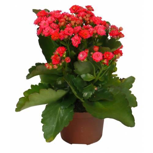 Kalanchoe Con Flores Rojas C12 Venta Kalanchoe Con