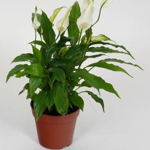 Spathiphyllum espatifilo cuna de mois s c12 venta for Plantas de interior anturio