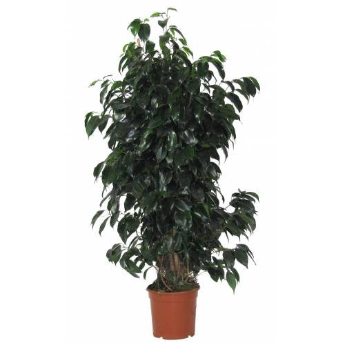 Ficus benjamina 39 danielle 39 c17 venta ficus benjamina - Ficus benjamina precio ...