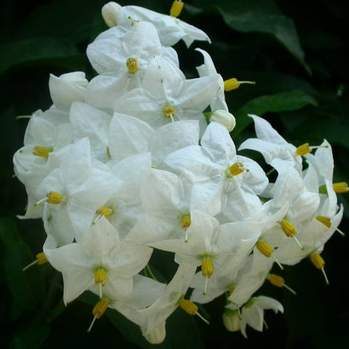 Solano, Falso jazmín con flores blancas : venta Solano, Falso jazmín ...