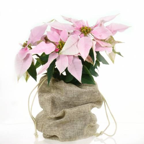Poinsetia Poinsetia Poinsetia rosa, Flor de Pascua rosa   venta Poinsetia rosa, Flor de 7fc4e7