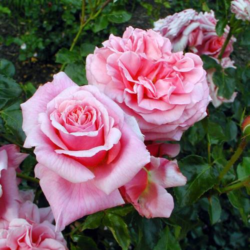 Rosal 39 aloha 39 venta rosal 39 aloha 39 rosa aloha - Rosales trepadores perfumados ...