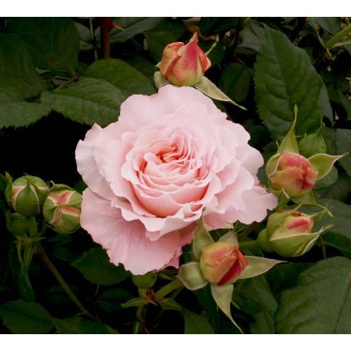 Rosal 39 andr le notre 39 venta rosal 39 andr le notre 39 rosa andr le notre - Rosales trepadores perfumados ...