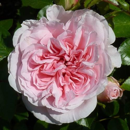 Rosal 39 bossa nova 39 venta rosal 39 bossa nova 39 rosa bossa nova - Rosales trepadores perfumados ...