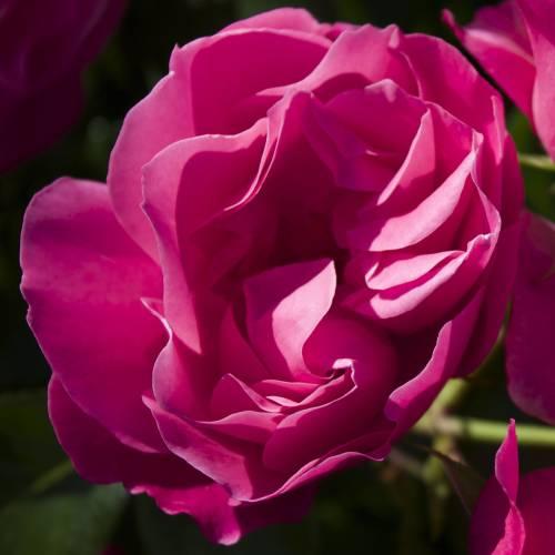 Rosal 39 d borah 39 venta rosal 39 d borah 39 rosa d borah - Rosales trepadores perfumados ...