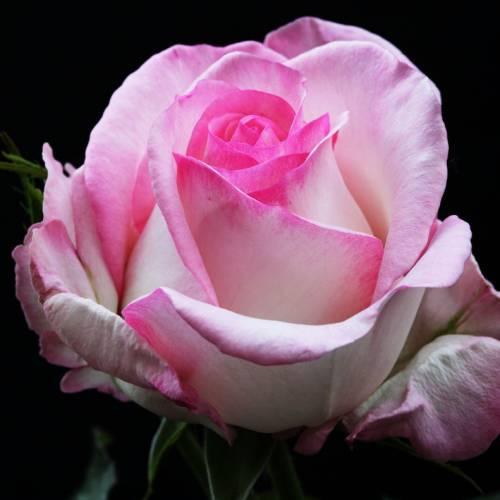 Rosal 39 moonstone 39 venta rosal 39 moonstone 39 rosa moonstone - Rosales trepadores perfumados ...