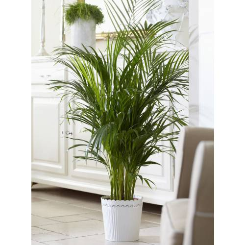 Kentia palma del paraiso c17 venta kentia palma del for Plantas de interior precios